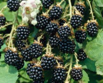 cropped-blackberries-300x3001.jpg