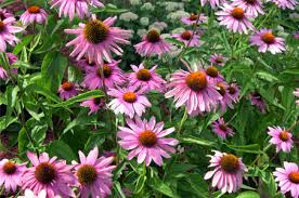 Also known as cone flower due to the marshmallow's flower's distinctive outline