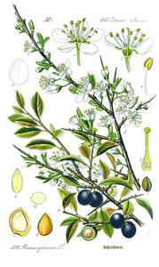 220px-Illustration_Prunus_spinosa1