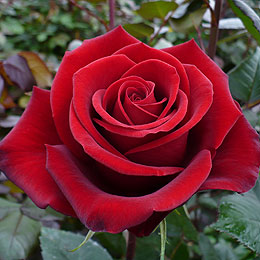 dark-red-rose-tinto