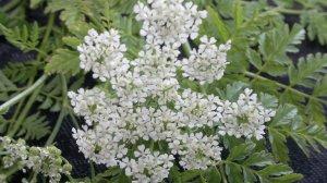 hemlock-flower