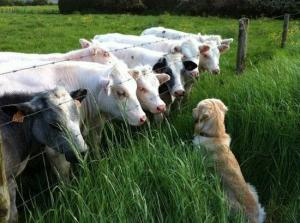 cows-befriending-a-dog