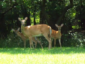 deer-on-front-lawn-3