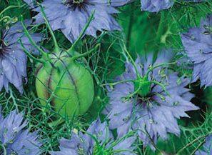 love-in-a-mist1